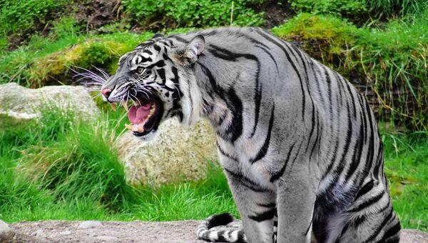 Le tigre maltais - Sputnik France