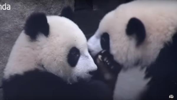Hey panda bro, stop moving! Let me lie on your back! - Sputnik France
