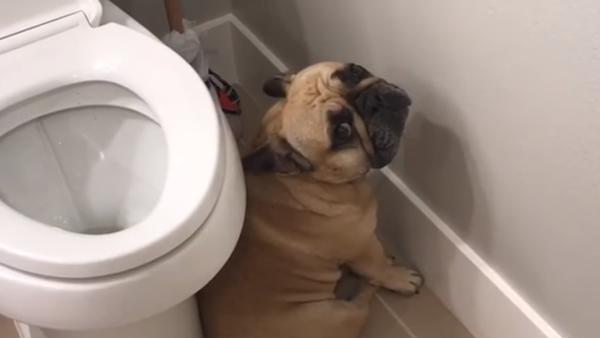 Ce bulldog s'en voudrait-il d'avoir fait une grosse bêtise ? - Sputnik France