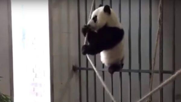 Ce petit panda géant ne sera finalement pas équilibriste! - Sputnik France