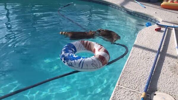 Deux ratons-laveurs profitent de leur journée à la piscine - Sputnik France