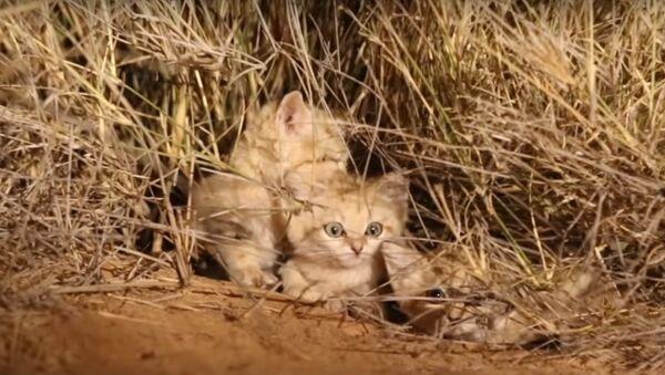 Des chatons des sables ont été filmés pour la première fois dans leur environnement naturel - Sputnik France