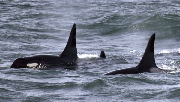 An orca whale swims with other whales in the Pacific Ocean near the mouth of the Columbia River near Ilwaco, Washington - Sputnik France