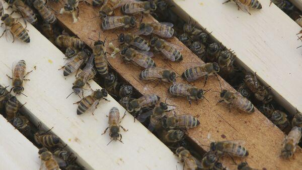 Des abeilles - Sputnik France
