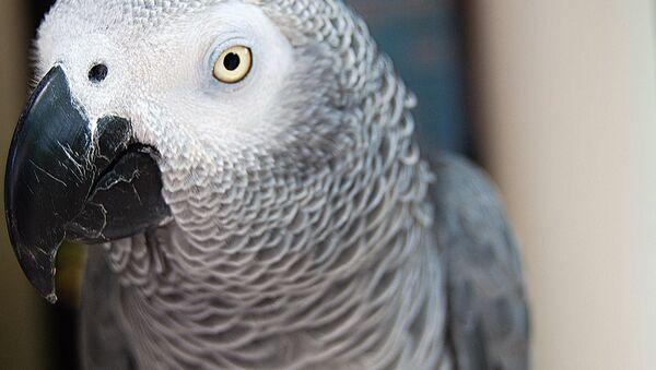 Аu secours! Un perroquet appelant à l'aide alerte des policiers aux USA - Sputnik France