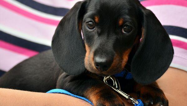 A Dachshund puppy - Sputnik France
