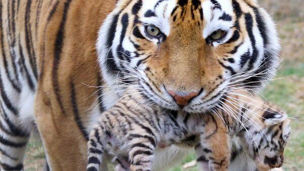 Six tigres de l'Amour sont nés dans le parc safari Taïgan à Belogorsk, en Crimée - Sputnik France