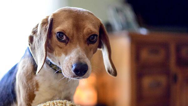 Un perro de la raza beagle (imagen referencial) - Sputnik France