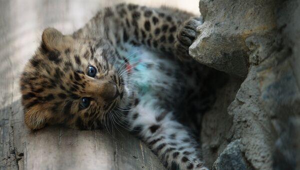Un bébé léopard, image d'illustration - Sputnik France