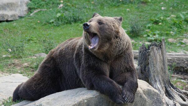 Un ours - Sputnik France