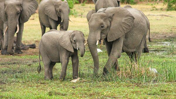Une famille d'éléphants - Sputnik France