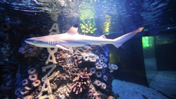 Reef shark - Sputnik France