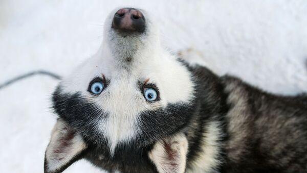 Un husky dans le parc Sokolniki de Moscou - Sputnik France
