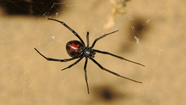 Veuve noire à dos rouge - Sputnik France