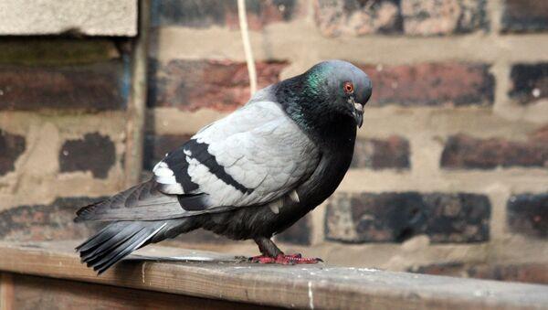 Pigeon - Sputnik France