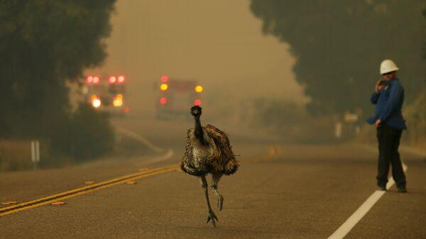 Une autruche fuit l'incendie en Californie - Sputnik France