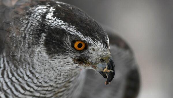 Un faucon (image d'illustration) - Sputnik France