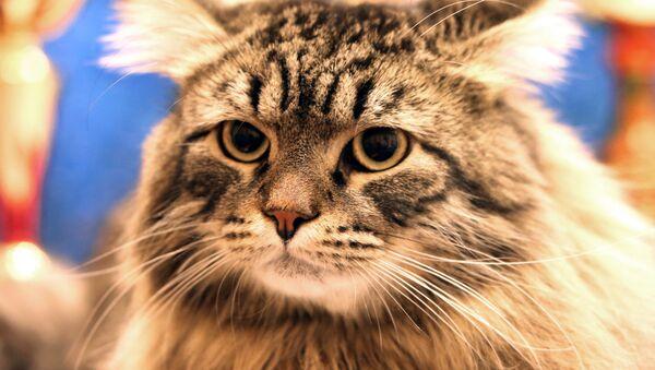 Un chat sibérien - Sputnik France