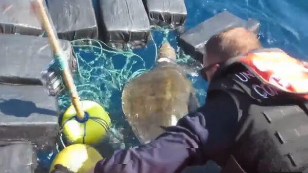Une tortue de mer emmêlée dans des paquets de cocaïne sauvée par des marins - Sputnik France