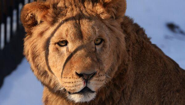 Bienvenus aux lions, pumas et lynx, les nouveaux résidents du parc safari du Primorié! - Sputnik France