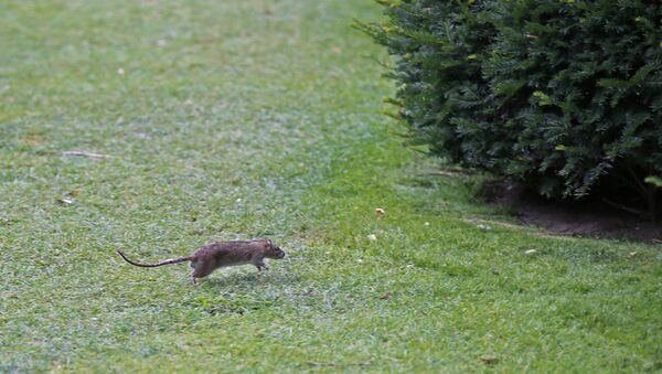 A rat runs in The Tuileries gardens of the Louvre Museum in Paris, France, Tuesday, July 29, 2014 - Sputnik France