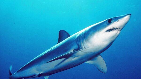 Un requin mako  - Sputnik France