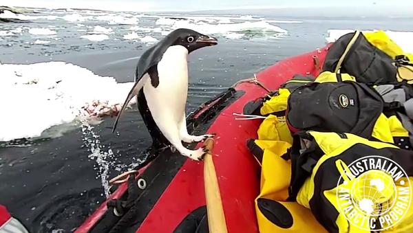 Dans un style très antarctique, un manchot a assouvi sa curiosité en inspectant un bateau pneumatique - Sputnik France