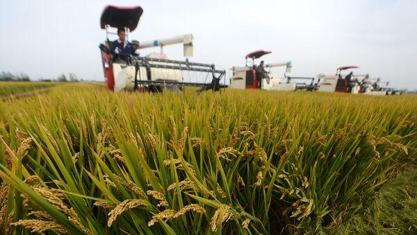 riz, Chine - Sputnik France