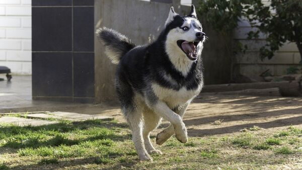 Husky dog - Sputnik France
