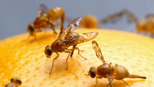 Fruit flies - Sputnik France