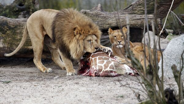 This is a Sunday, Feb. 9, 2014 file photo of the carcass of Marius, a male giraffe, as it is eaten by lions after he was put down in Copenhagen Zoo - Sputnik France