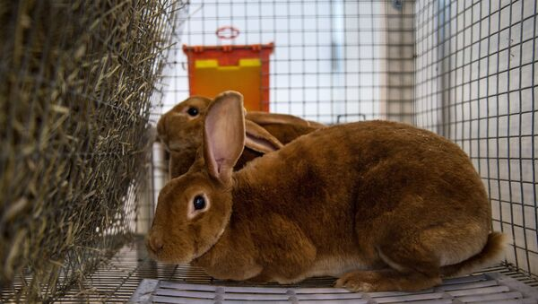 Un lapin - Sputnik France