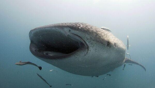 Requin-baleine - Sputnik France