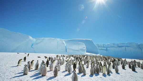 Des manchots empereurs près de la base russe de Mirny en Antarctique - Sputnik France