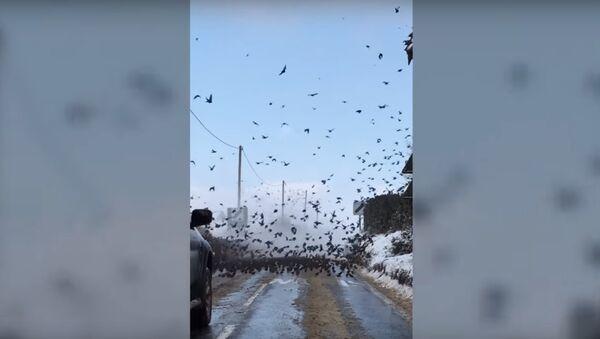 Les oiseaux d'Hitchcock: des milliers d'étourneaux occupent une route en Angleterre - Sputnik France