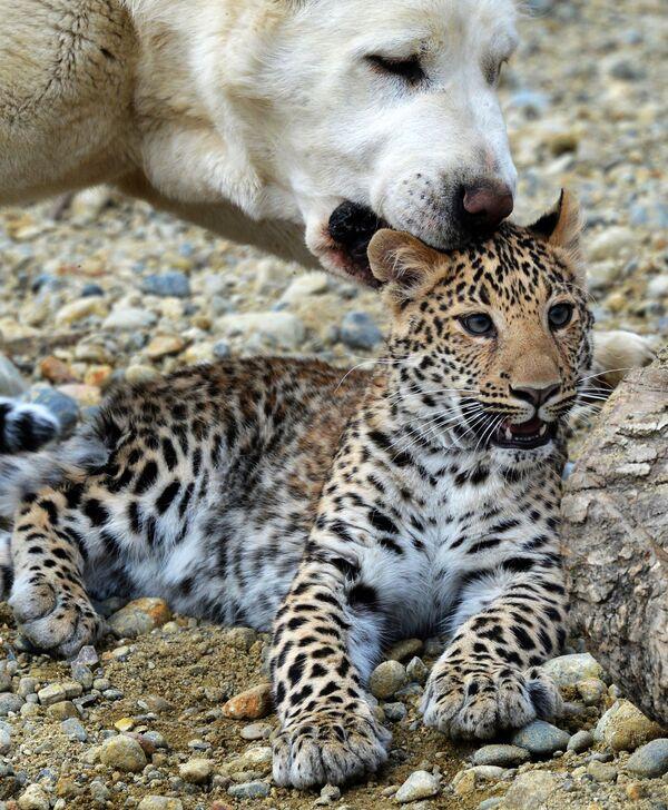 Un berger d'Asie centrale adopte un bébé léopard - Sputnik France