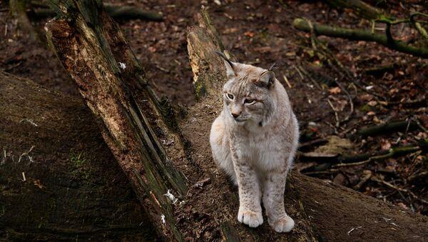 Lynx - Sputnik France