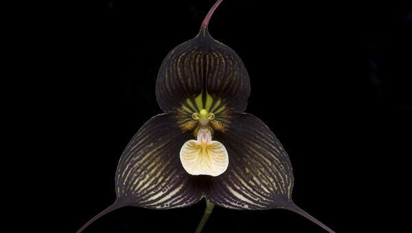 L'orchidée Dracula vampira - Sputnik France