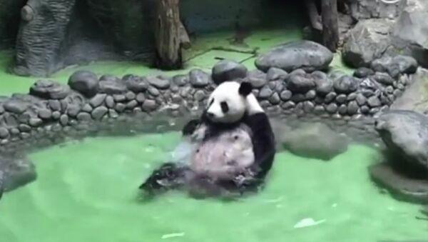 Un Panda se détend en se baignant dans une piscine - Sputnik France
