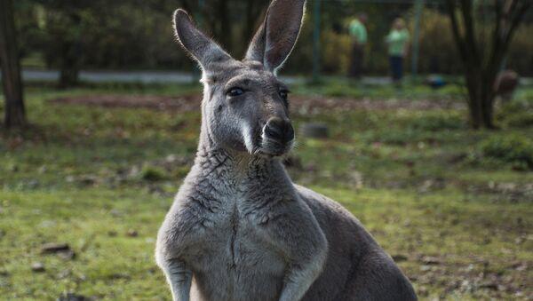 Kangaroo - Sputnik France