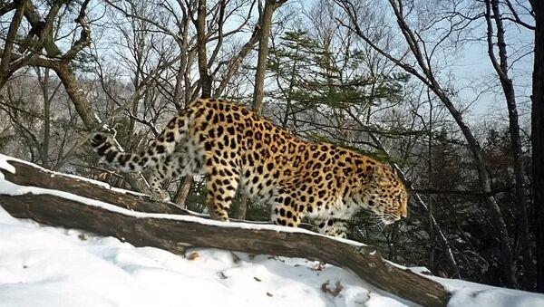 Дальневосточный леопард - Sputnik France