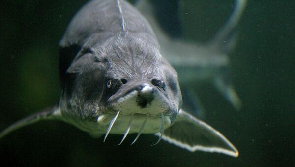 A Sturgeon is seen in an aquarium - Sputnik France