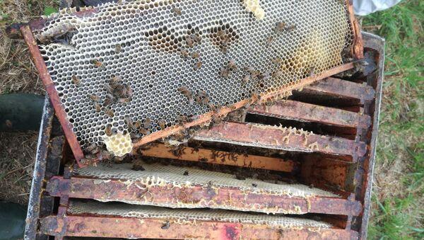 En Ariège, un cocktail de substances chimiques tue 2 millions d'abeilles - Sputnik France