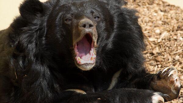 Asiatic Black Bear - Sputnik France