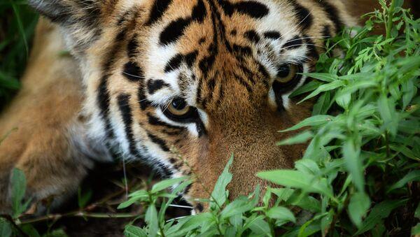 tigres de l'Amour  - Sputnik France