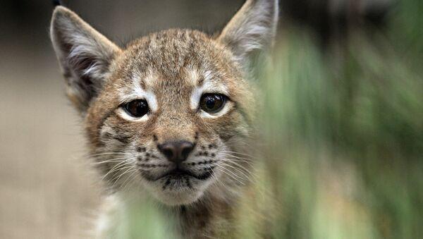 Un petit lynx (photo d'illustration) - Sputnik France