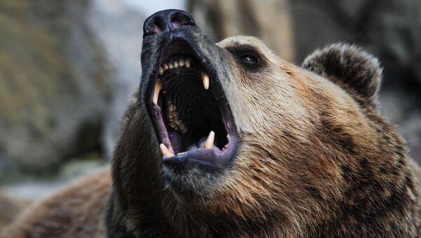 Un ours brun - Sputnik France