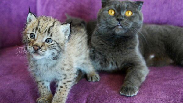 Un chat a allaité un bébé lynx dans un zoo de l'Extrême-Orient russe - Sputnik France