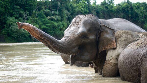 Sumatran elephant  - Sputnik France