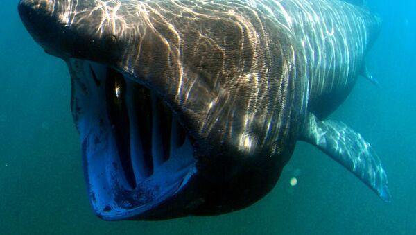 Гигантская акула - Sputnik France